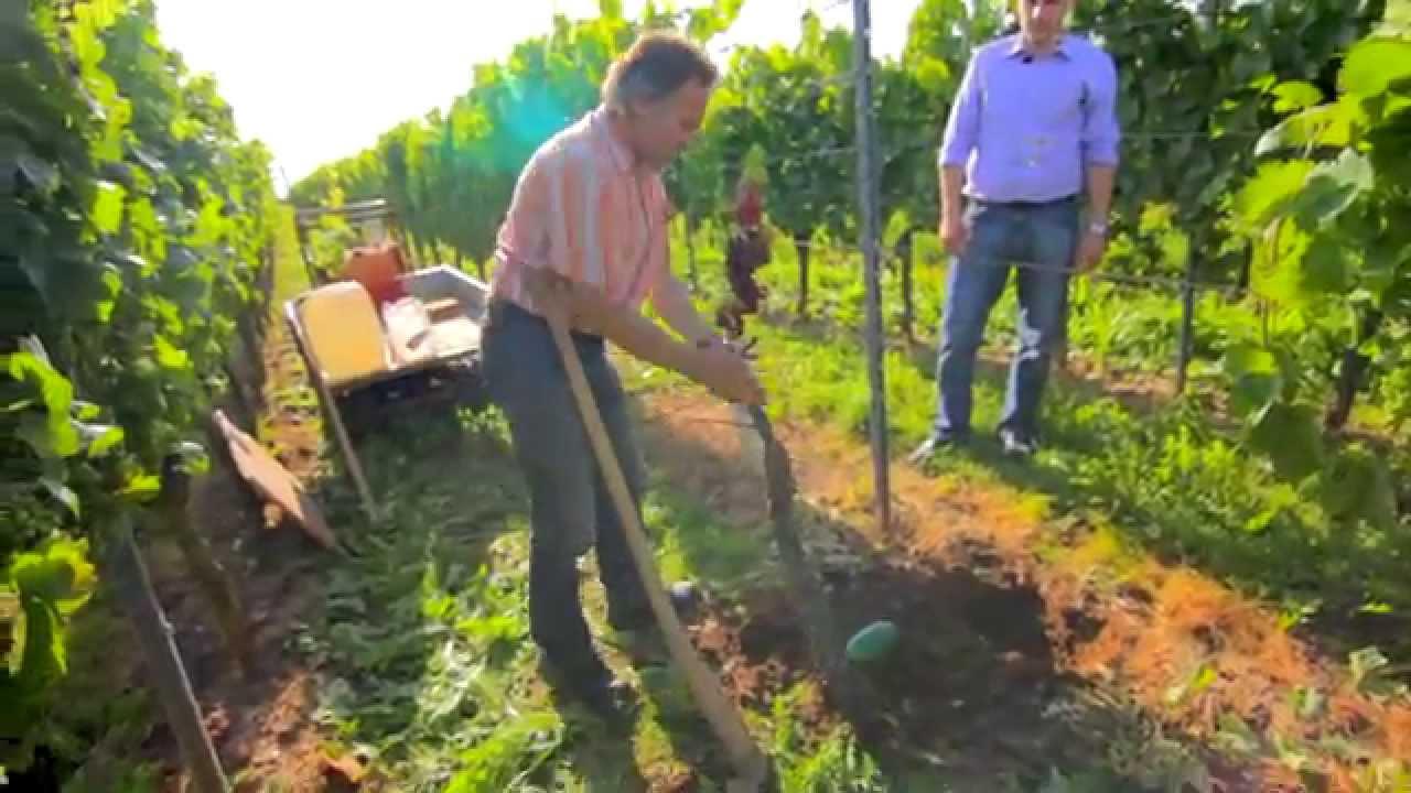 Die Weinexperten: Das Einpflanzen einer neuen Weinrebe (Teil 2/3 ...