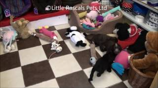 Little Rascals Uk Breeders New Litter Of Cocker Spaniels