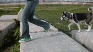 Amazing Chihuahua Jump!