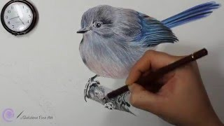 Drawing of a Splendid Fairy Wren - A Twig for a Blue Fairy