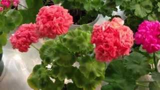Выставка пеларгоний в Невском Доме Фиалки, 5-7 сентября 2013(Выставка популярнейших комнатных цветов -- пеларгоний в Невском Доме Фиалки, 5-7 сентября 2013 года, на последн..., 2013-09-12T08:24:44.000Z)