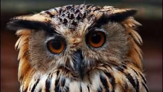 Птица филин. Почему его так любят люди и боятся птицы?