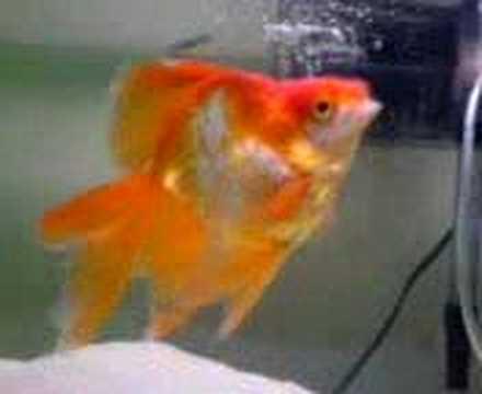 My New Ryukin Goldfish