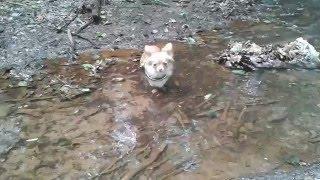 Chihuahua Pina Angst vor Wasser