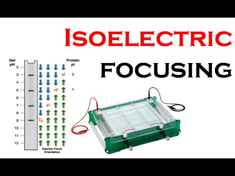 isoelectric focussing essay Electrophoresis separation of proteins cytochrome c myoglobin hemoglobin and serum albumin by using isoelectric focusing system ief essayselectrophoresis separation of proteins cytochrome c, myoglobin, hemoglobin, and serum albumin by using isoelectric focusing system (ief) proteins are composed of.