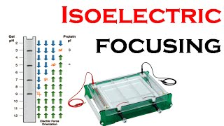 Isoelectric focusing in 2d gel electrophoresis