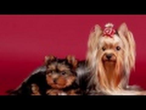 Cómo Criar Perros Raza Yorkshire y Westhighland- TvAgro por Juan Gonzalo Angel