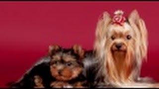 Como Criar Perros Raza Yorkshire Y Westhighland- Tvagro Por Juan Gonzalo Angel