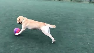 Talented Pooch Loves Playing Football