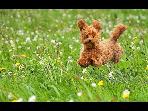 Adorable Toy Poodle - DOG LOVERS ❤