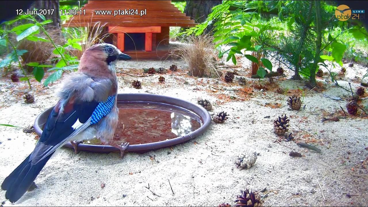 Sójka pije wodę z pojemnika przed domkiem dla jeży