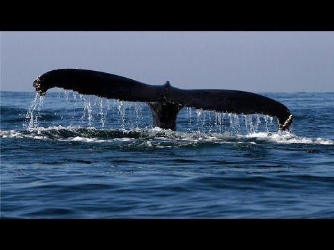 Rejeitada proposta de santuário para baleias
