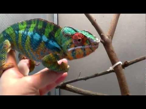 Friendly Ambilobe Panther Chameleon