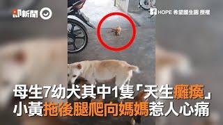 母生7幼犬其中1隻「天生癱瘓」 小黃拖後腿爬向媽媽惹人心痛