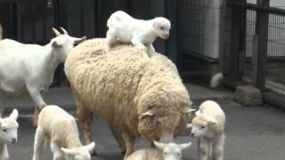 荒川遊園の子ヤギたちが、ひつじさんにのって移動します。周囲にいるの...