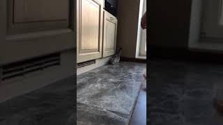 Манчкин. Кот с короткими лапами.