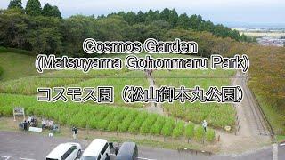 コスモス園(松山御本丸公園)| Cosmos Garden (Matsuyama Gohonmaru Park)