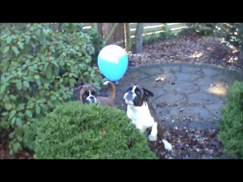 Boxer dogs Archie and Alfie playing with balloons