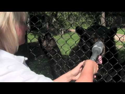 Feed the bears! Black Bear Experience at the Palm Beach Zoo