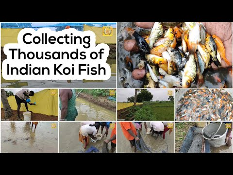 Collecting Indian Koi Fish In Pond, Thousands Of Koi Fish