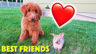 Zoey Doodle Puppy Plays With Bunny! Cute Friends