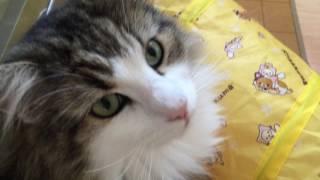 サムネイルは兄猫ふーちゃんですが、妹猫のみぃちゃん(1歳半)の鳴き...