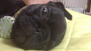 パグのレム睡眠です、最初なったときはストレスかなんかでバグったと思...