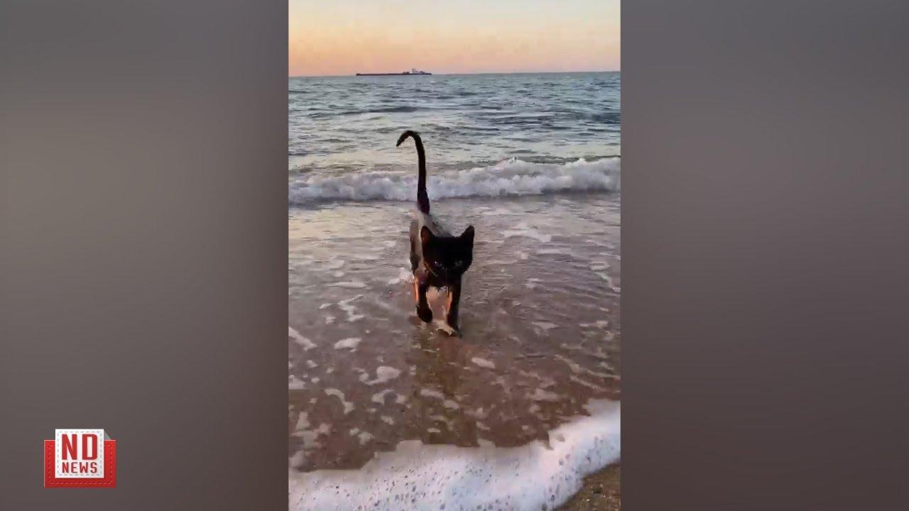 Крымский водоплавающий кот