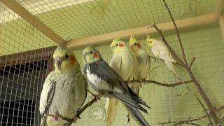 Активность попугаев утром. Нимфы - Кореллы