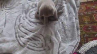 котёнок с пушистым хвостом )