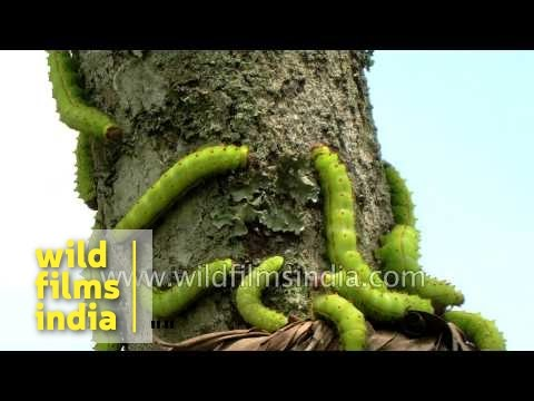 Why silkworms find mulberries attractive