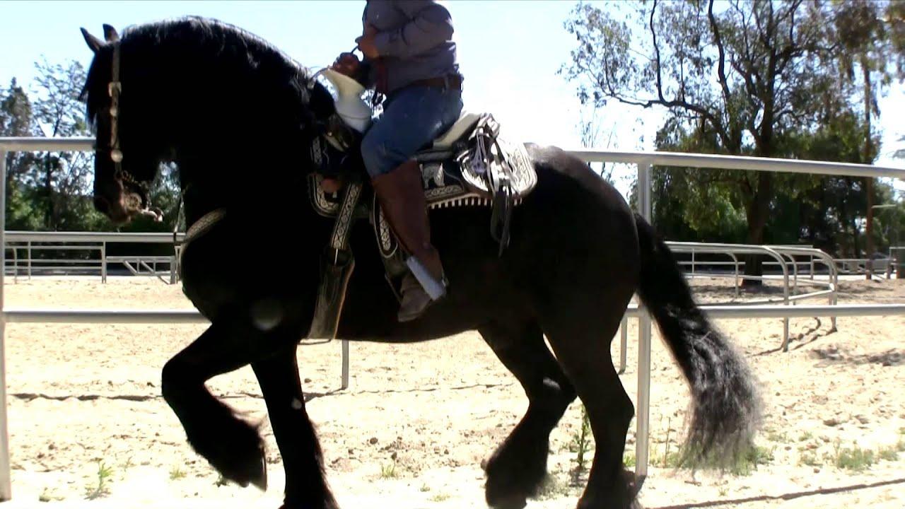 Caballos bailadores 2015 mis dos vicios cheque pe a youtube for Sillas para caballos