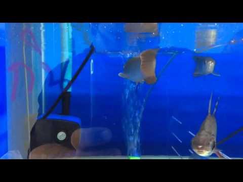 """ปลามังกรแดงอินโด Super red ขนาด 6""""-7"""" ราคา 1550..."""
