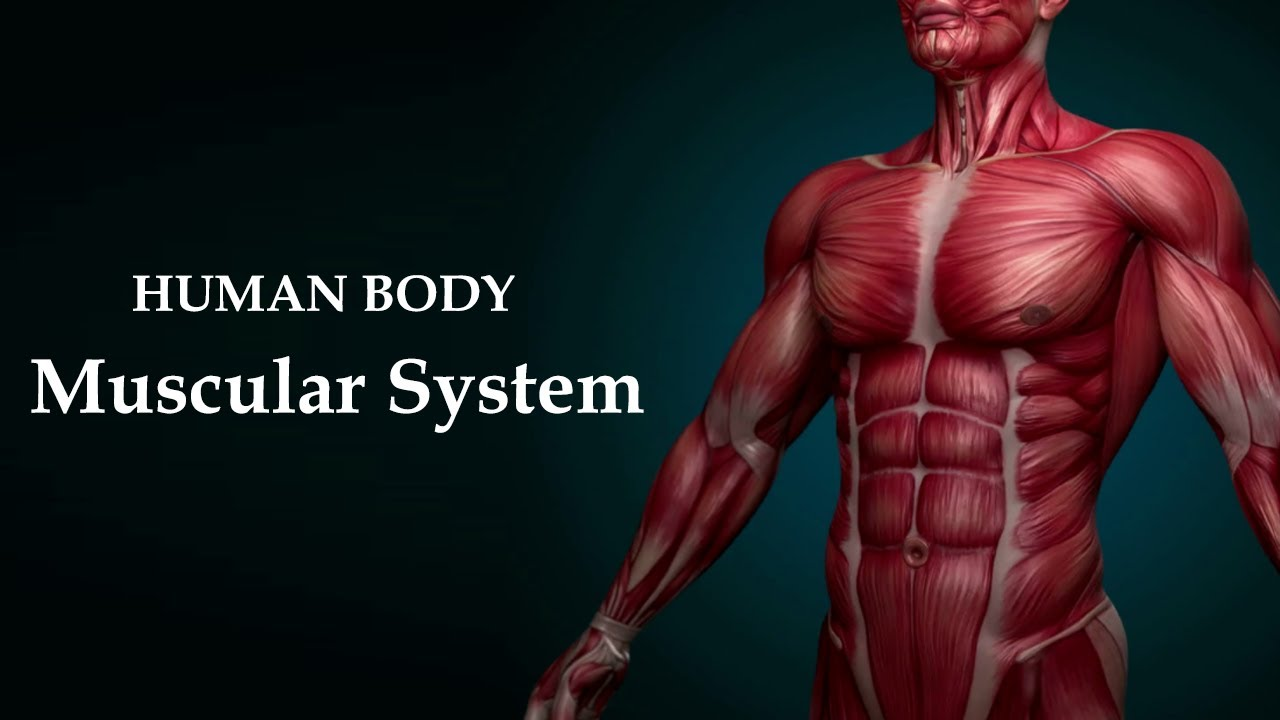 The Muscular System Introduction of the Human Body 2021