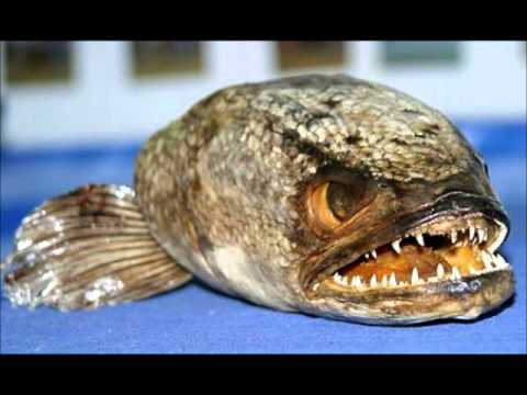 Top 10 scariest fish youtube for Best fish in the world