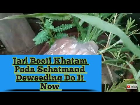 Weeds Cleaning  : Clean your pots from  unwanted plants immediately to make your  plants healthy