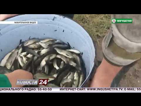 В водоемы Ингушетии запустили рыбу.