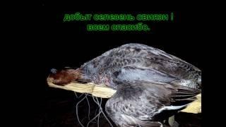 Охота на селезня с подсадной ! Курская обл  2017г
