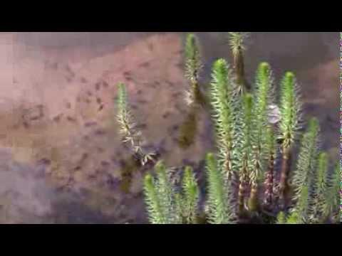 Hippuris vulgaris - Tannenwedel, Common Mare's Tail