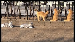 Kittens (Paradis an' Anne), Walky time! ちびっ子ら、散歩ですよ! (Jan.20, 2018 morning) thumbnail
