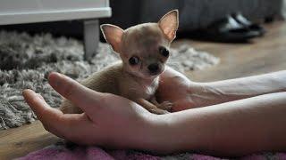 Najmniejszy pies świata? Oto Toudi z Wrocławia