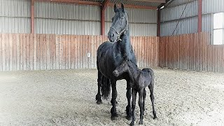 1 day old filly Myrthe for the first time in the arena. Friesian horses