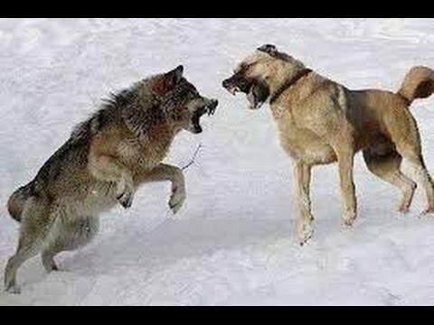 Lone Wolf Vs Kangal Dogs Wolf Kills A Sheep Youtube
