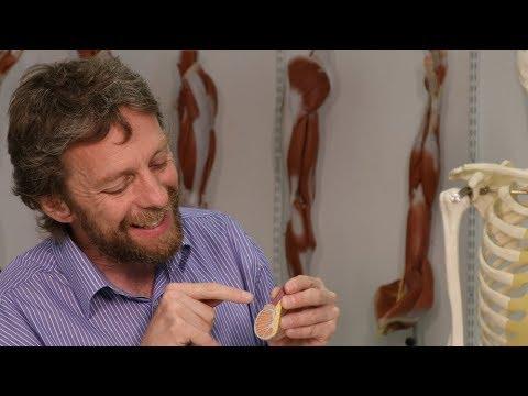 Testis Or Testicle (anatomy)