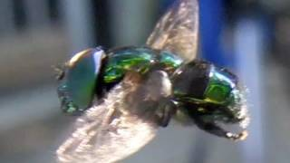 My REFLECTION on a Hover Fly  - Metallic Green Slow Motion Casio Exilim Pro insect UFO
