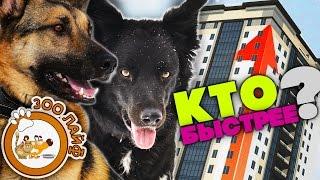 Кто быстрее? Собаки бегут на 14 этаж. Бордер колли или овчарка.