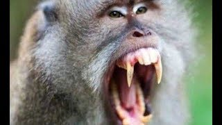 Нападения обезьян на людей в Таиланде. Пхукет.
