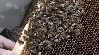 Russian Honey bees? / JUST SAY NO! (u need to c this pt1)