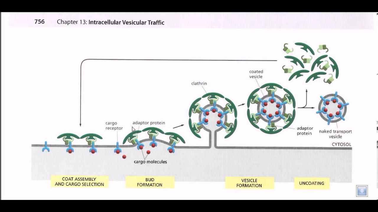 Vesicle formation - YouTube