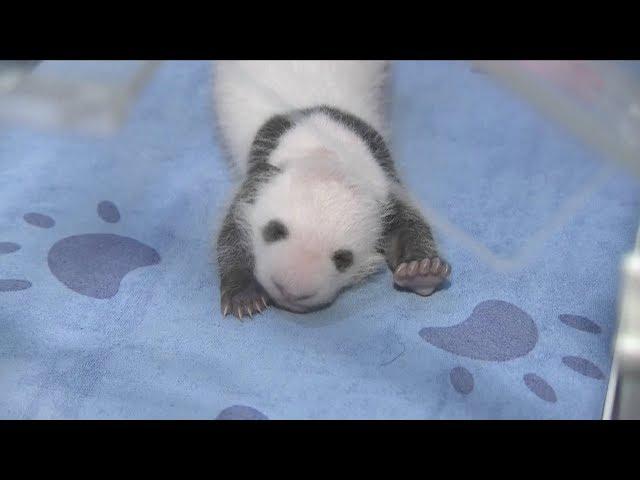 Adorable panda cub makes public debut in NW China